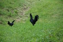 Ayam Cemani 220014